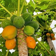 Organic Care of Papayas in the Tropics and Subtropics